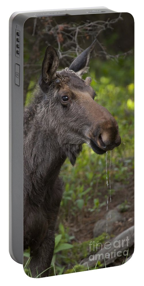 Moose Bull Moose Portable Battery Charger featuring the photograph Male Moose  #5696 by J L Woody Wooden