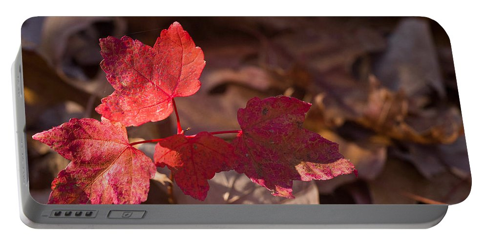 Maple Portable Battery Charger featuring the photograph Maple Morning by Douglas Barnett