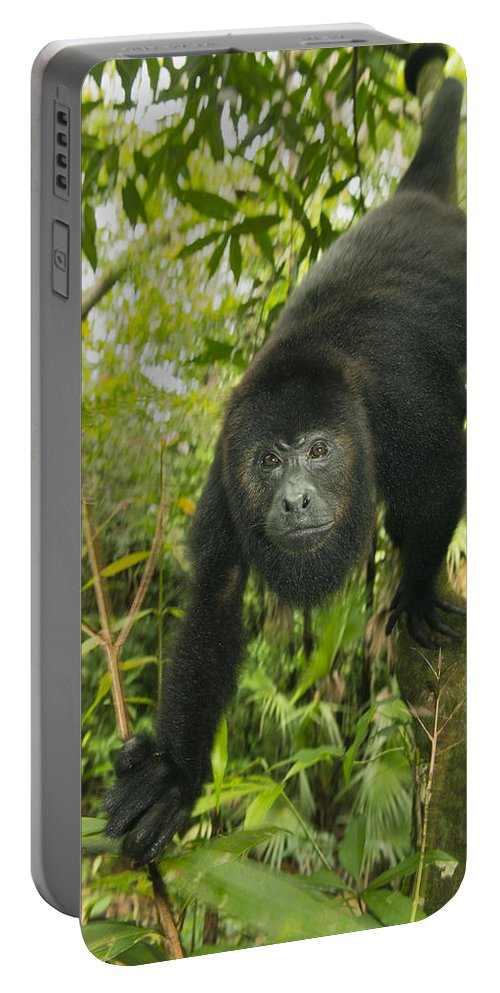 Kevin Schafer Portable Battery Charger featuring the photograph Mexican Black Howler Monkey Belize by Kevin Schafer