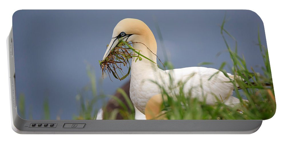 Northern Portable Battery Charger featuring the photograph Northern Gannet Gathering Nesting Material by Louise Heusinkveld