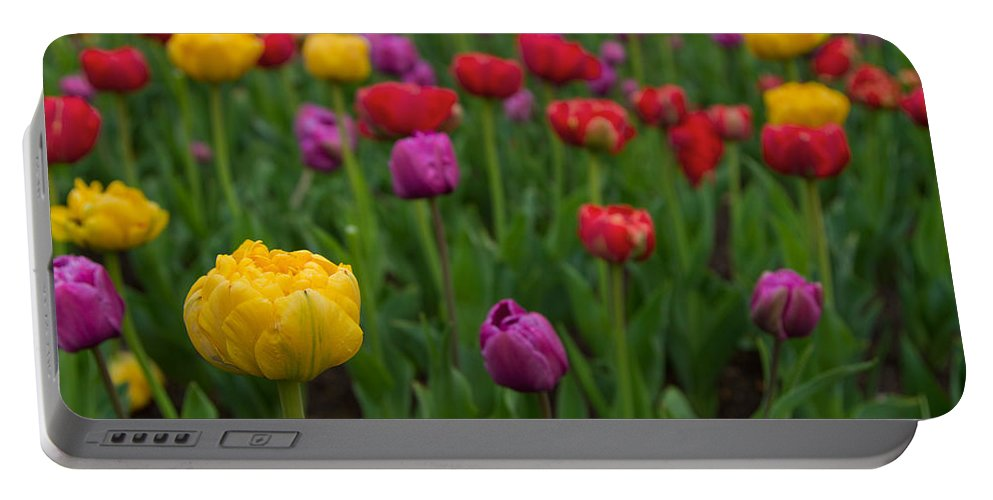 Colorful Tulip Portable Battery Charger featuring the photograph Opening Day by Lindley Johnson