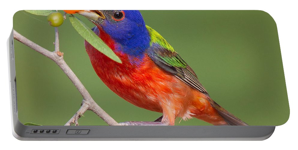 Painted Bunting Portable Battery Charger featuring the photograph Painted Bunting Eating Granjeno Berry by Jerry Fornarotto