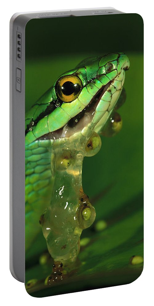00760055 Portable Battery Charger featuring the photograph Parrot Snake Eating Frog Eggs by Christian Ziegler