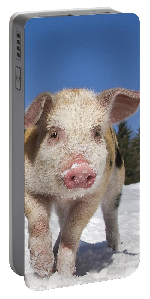 Piglet Portable Battery Charger featuring the photograph Piglet Walking In The Snow by Jean-Louis Klein and Marie-Luce Hubert