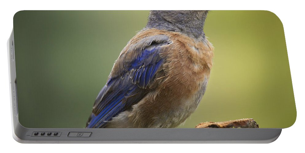 Bird Portable Battery Charger featuring the photograph Posing Bluebird by Jean Noren