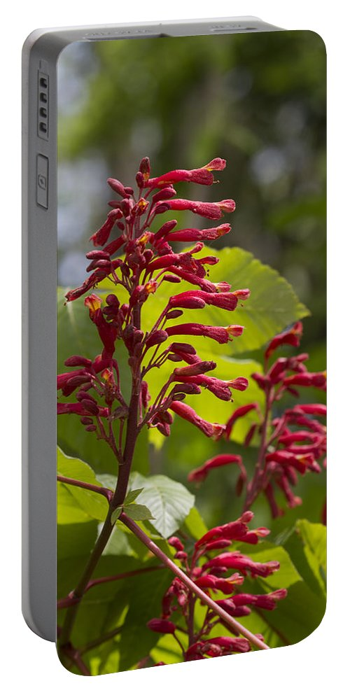 Aesculus Pavia Portable Battery Charger featuring the photograph Red Buckeye - Aesculus Pavia - Wildflowers by Kathy Clark