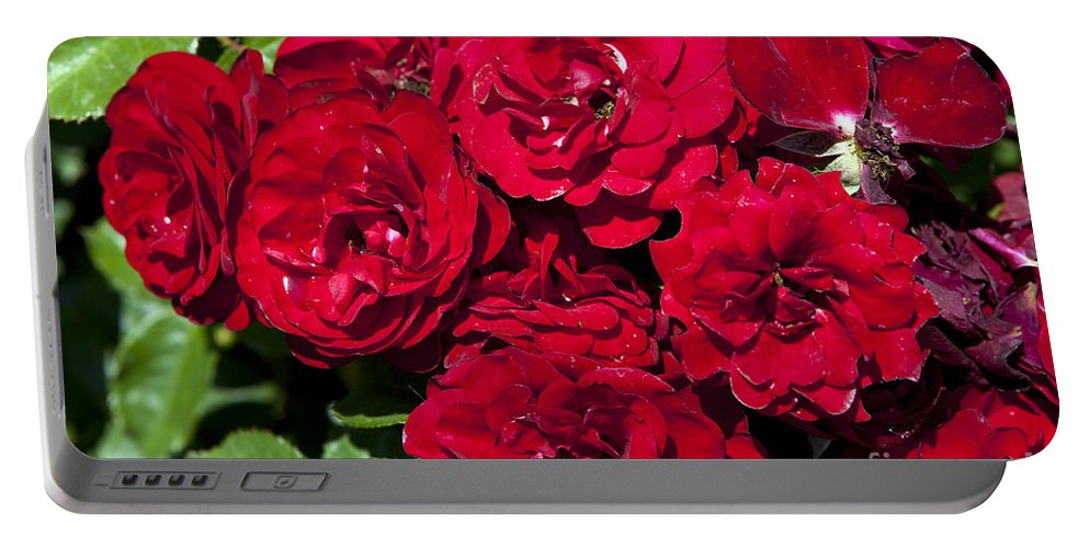 Rose Garden Portable Battery Charger featuring the photograph Red Lavaglut Lavaglow Floribunda Roses by Jason O Watson