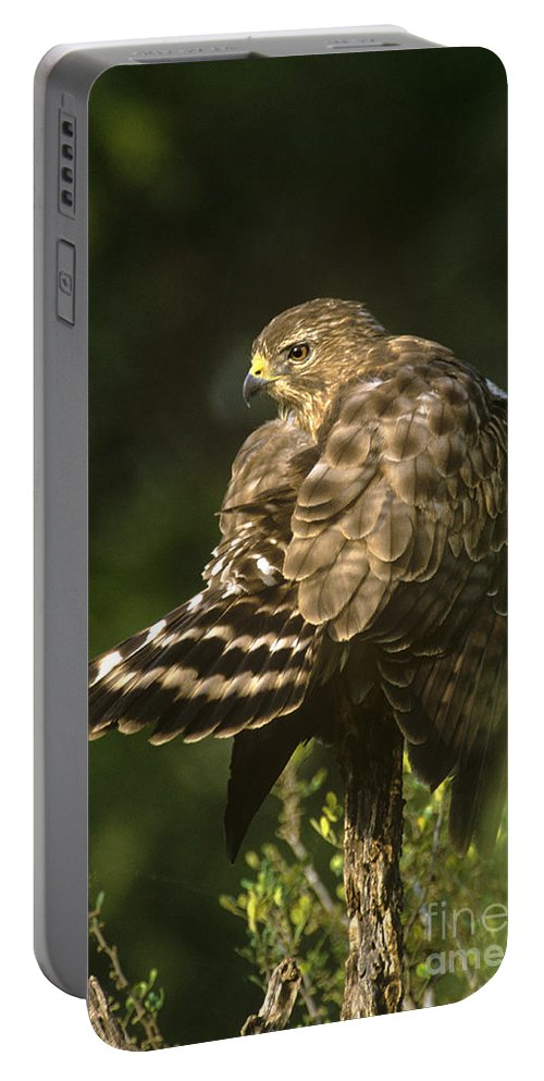 Red-shouldered Hawk Portable Battery Charger featuring the photograph Red-shouldered Hawk Wild Texas by Dave Welling