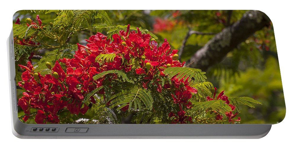 Flamboyant Flame Tree Royal Poinciana Trees Flower Flowers Bloom Blooms Blossom Blossoms Nature East Maui Hawaii Portable Battery Charger featuring the photograph Royal Poinciana by Bob Phillips
