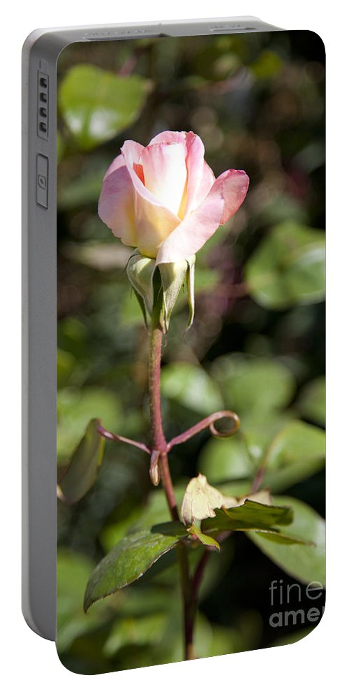 Pink Photographs Portable Battery Charger featuring the photograph Single Rose by David Millenheft