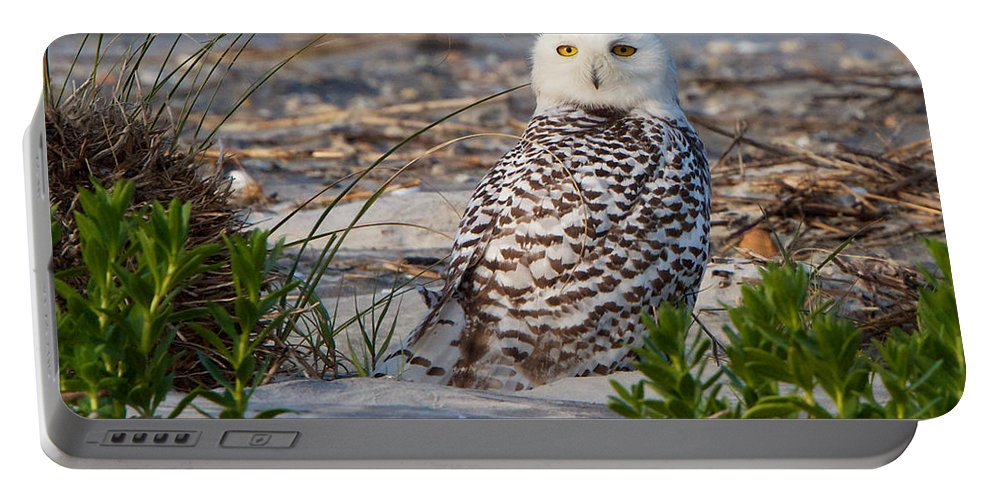 Snowy Owl Portable Battery Charger featuring the photograph Snowy Owl In Florida 24 by David Beebe