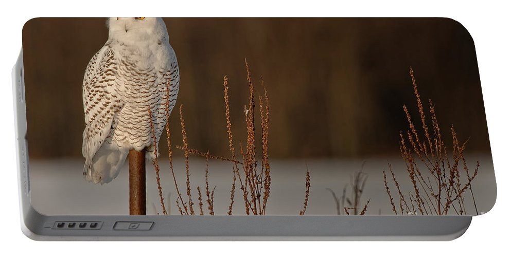Snowy Owl Portable Battery Charger featuring the photograph Snowy Owl Pictures 52 by World Wildlife Photography