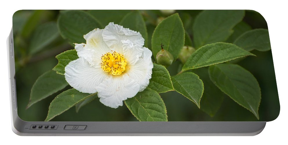Stewartia Pseudocamelia Portable Battery Charger featuring the photograph Solo by Claudia Kuhn