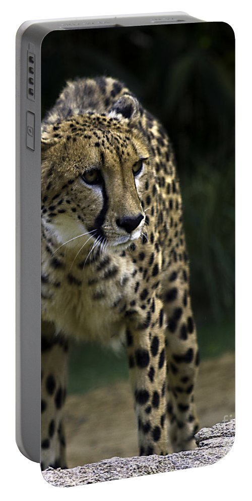 Tigers Portable Battery Charger featuring the photograph Spooked by Ken Frischkorn