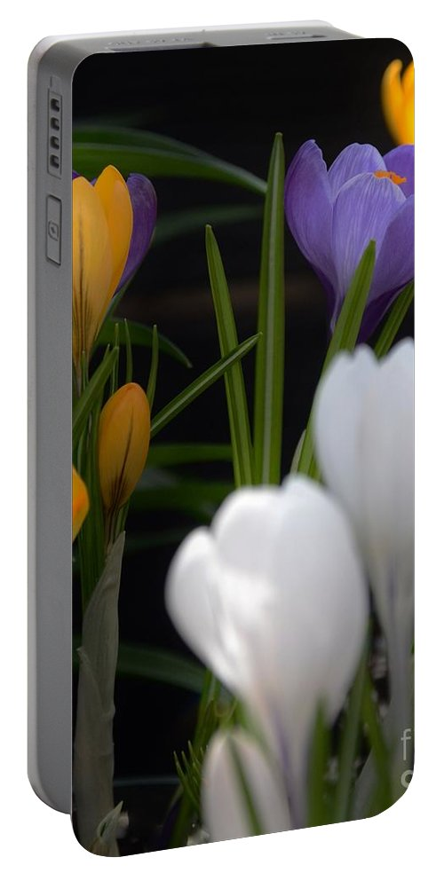 Crocus Portable Battery Charger featuring the photograph Spring Glow by Kathleen Struckle