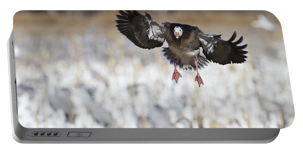 Blue Morph Snow Goose Portable Battery Charger featuring the photograph Standing Out by Bryan Keil