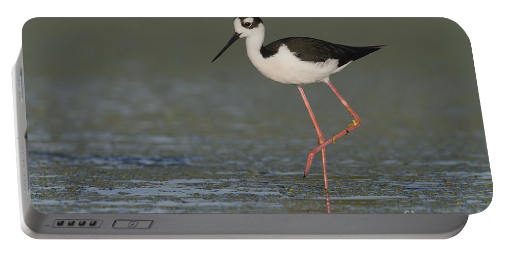 Black Necked Stilt Portable Battery Charger featuring the photograph Stilt In Duckweed by Bryan Keil