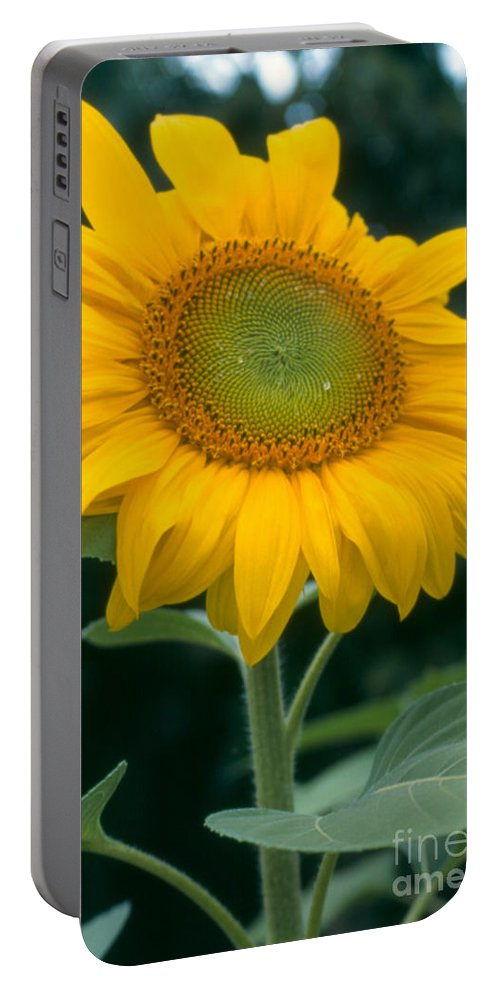 Flower Portable Battery Charger featuring the photograph Sunflower In Seattle by Heather Kirk