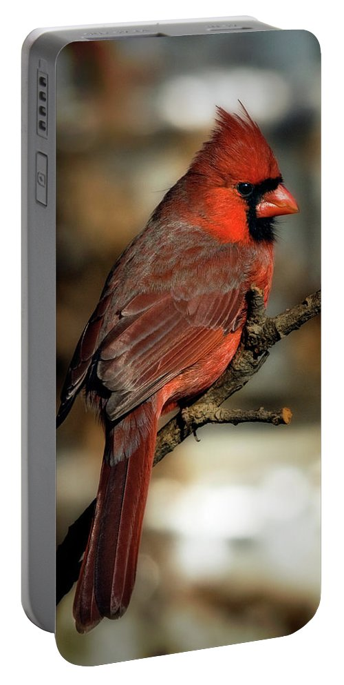 ackyard Birds Portable Battery Charger featuring the photograph The Male Northern Cardinal by Lana Trussell