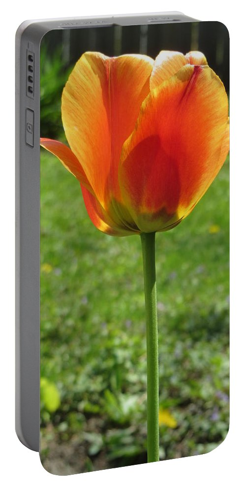 Tulip Portable Battery Charger featuring the photograph Tulip Backlit 14 by Anita Burgermeister