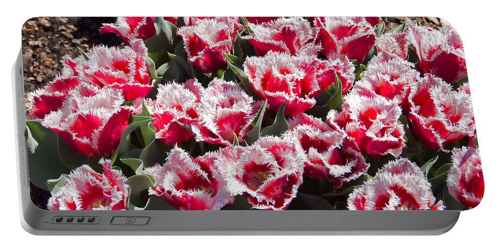 Tulips Portable Battery Charger featuring the photograph Tulips At Dallas Arboretum V70 by Douglas Barnard