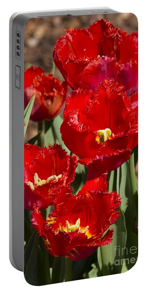 Tulips Portable Battery Charger featuring the photograph Tulips At Dallas Arboretum V83 by Douglas Barnard