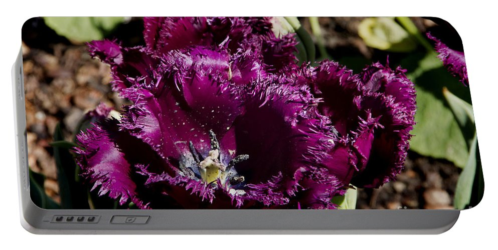 Tulips Portable Battery Charger featuring the photograph Tulips At Dallas Arboretum V85 by Douglas Barnard