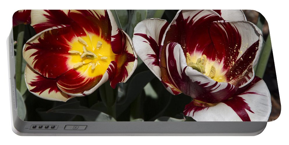 Tulips Portable Battery Charger featuring the photograph Tulips At Dallas Arboretum V92 by Douglas Barnard
