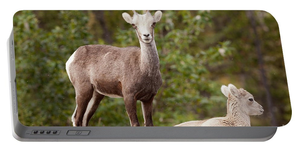 Animal Portable Battery Charger featuring the photograph Two Young Stone Sheep Ovis Dalli Stonei Watching by Stephan Pietzko