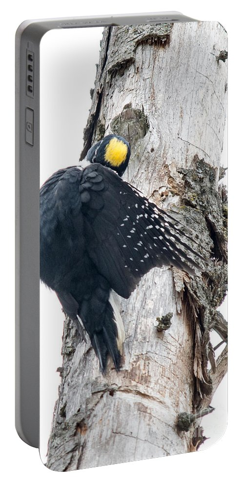 Black-backed Woodpecker Portable Battery Charger featuring the photograph Under Cover Black-backed by Cheryl Baxter