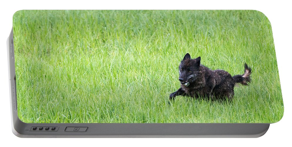 889f Portable Battery Charger featuring the photograph Wolf 889f by Max Waugh