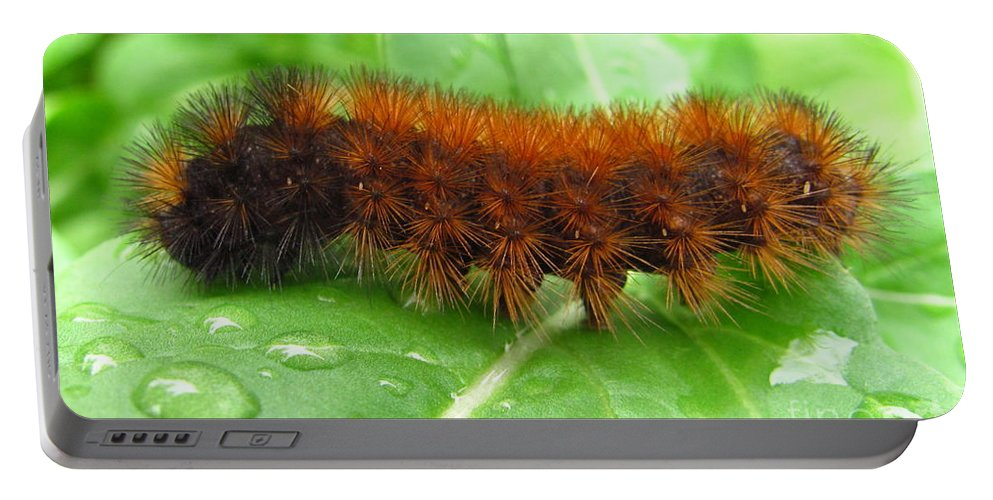 Wooly Bears Wooly Bear Caterpillar Images Fuzzy Caterpillar Prints Isabella Tiger Moth Caterpillar Orange And Black Caterpillar Black And Brown Caterpillar Maryland Caterpillar Identification Caterpillar Id American Caterpillars Spiny Caterpillar Harmless Caterpillars Entomology Natural Science Nature Prints Naturalist Nature Study Nature Walk Nature Photography Tree Hugger Oldgrowth Forest Biodiversity Preservation Wildlife Conservation Organic Garden Organic Farming Banded Wooly Bear Pics Portable Battery Charger featuring the photograph Wooly Bear by Joshua Bales