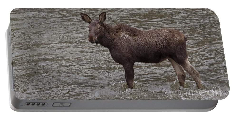 Moose Portable Battery Charger featuring the photograph Yearling Moose In The Shoshone River  #1284 by J L Woody Wooden