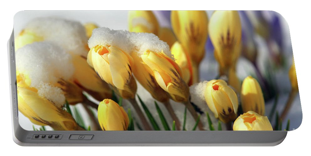 Yellow Crocuses Portable Battery Charger featuring the photograph Yellow Crocuses In The Snow by Sharon Talson