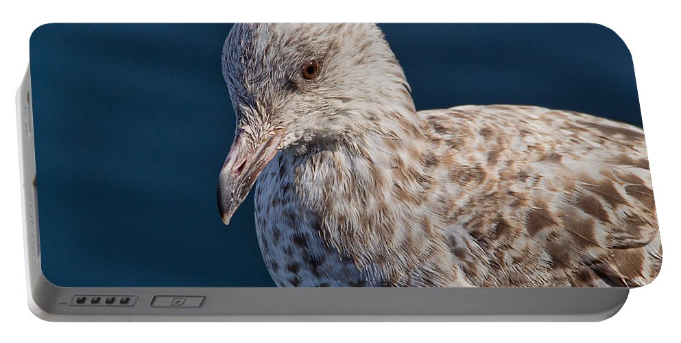 Herring Gull Portable Battery Charger featuring the photograph Young Herring Gull by Susie Peek