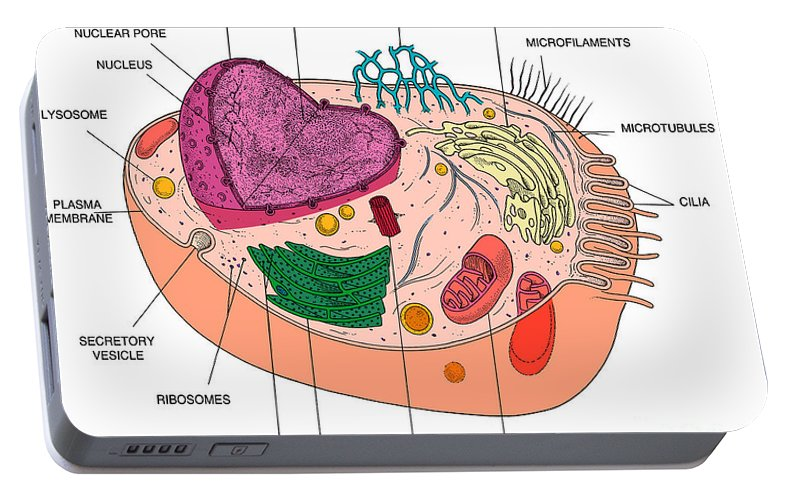 Animal cell diagram portable battery charger for sale by science source science portable battery charger featuring the photograph animal cell diagram by science source publicscrutiny Images
