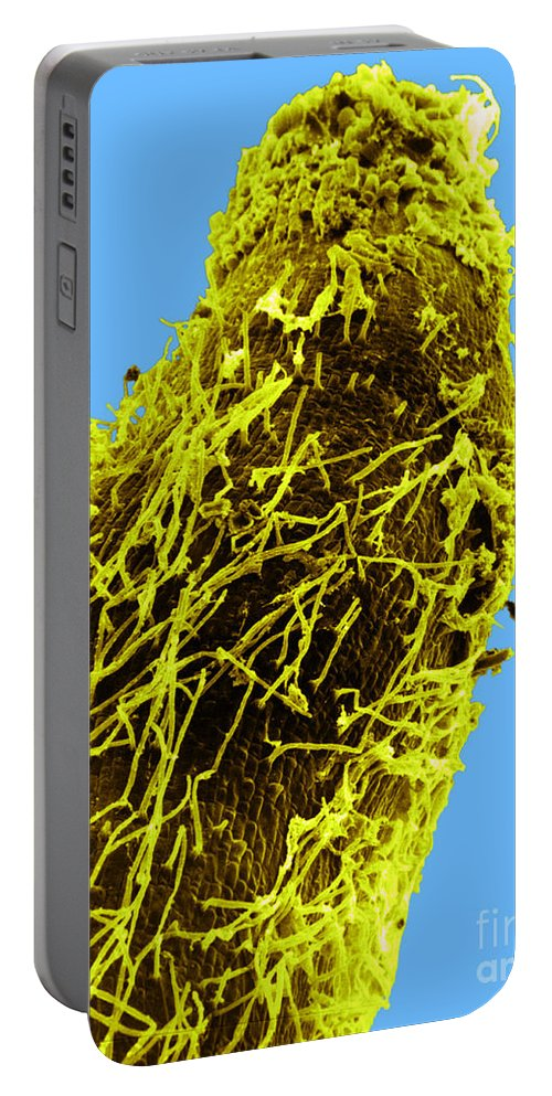 Scanning Electron Micrograph Portable Battery Charger featuring the photograph Bacteria On Sorghum Root Tip by Science Source