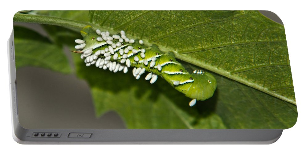 Hornworm Portable Battery Charger featuring the photograph Hornworm With Braconid Wasp Parasites 2 by Douglas Barnett