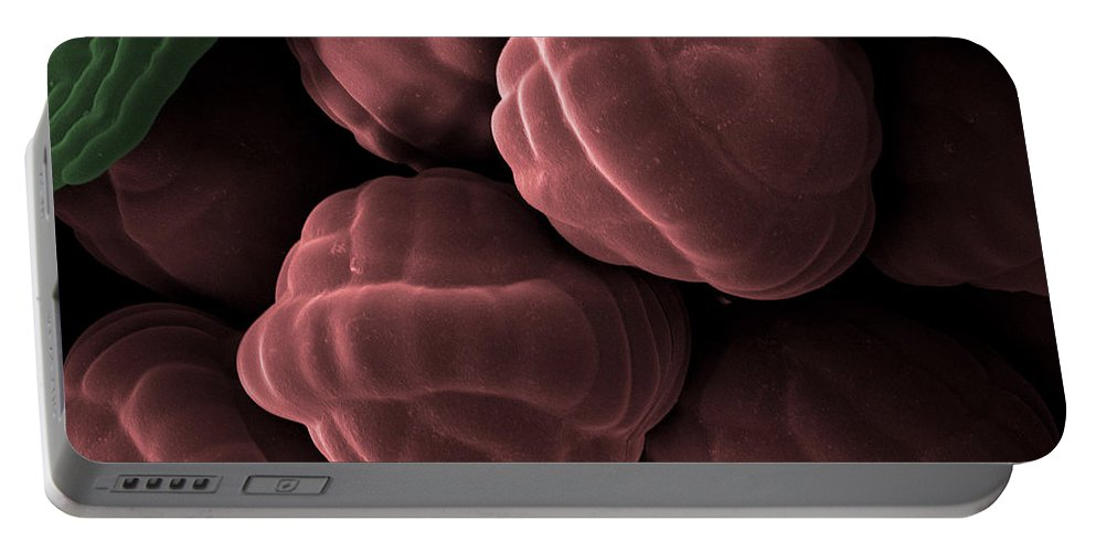 Botany Portable Battery Charger featuring the photograph Male Fern Sporangia, Sem by Ted Kinsman