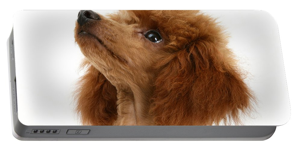 Animal Portable Battery Charger featuring the photograph Red Toy Poodle by Mark Taylor