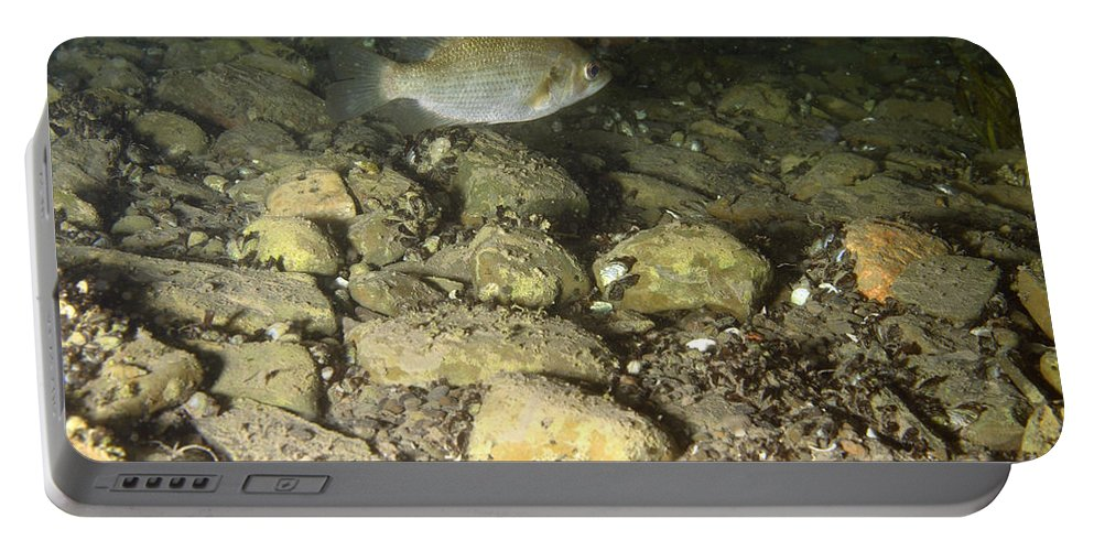 Fish Portable Battery Charger featuring the photograph Rock Bass by Ted Kinsman