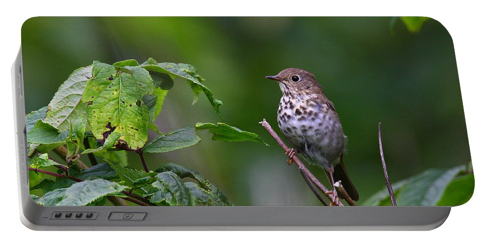 Doug Lloyd Portable Battery Charger featuring the photograph Swainsons Thrush by Doug Lloyd