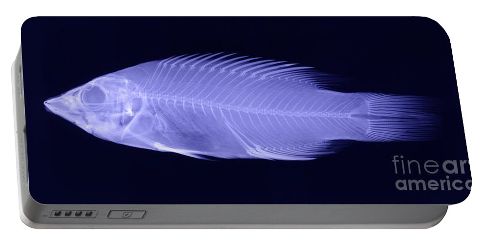 Fish Portable Battery Charger featuring the photograph X-ray Of A Wrasse Fish by Ted Kinsman
