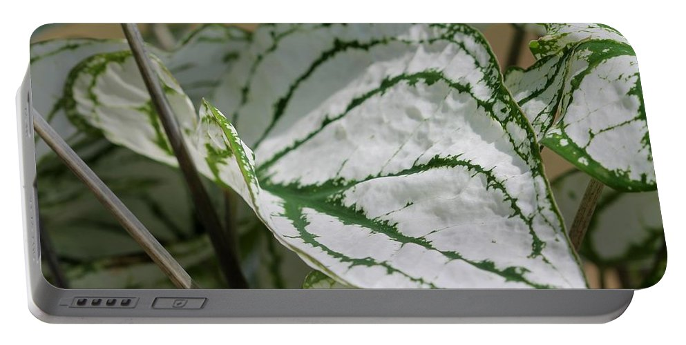 Caladium Portable Battery Charger featuring the photograph Caladium Named White Christmas by J McCombie