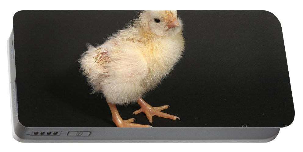 Chicken Portable Battery Charger featuring the photograph White Leghorn Chick by Ted Kinsman