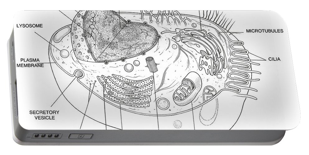 Science Portable Battery Charger featuring the photograph Animal Cell Diagram by Science Source