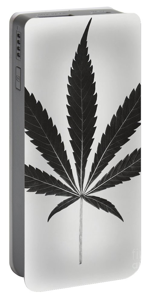 Plant Portable Battery Charger featuring the photograph Cannabis Sativa, Marijuana Leaf by Science Source