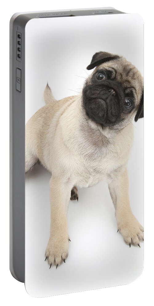 Dog Portable Battery Charger featuring the photograph Fawn Pug Pup by Mark Taylor