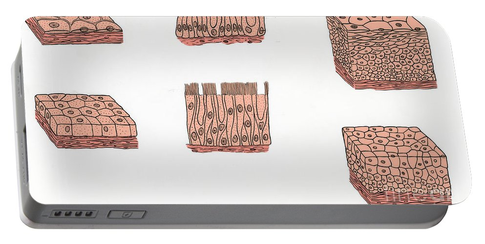 Histology Portable Battery Charger featuring the photograph Illustration Of Epithelium Types by Science Source