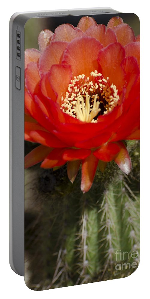 Cactus Portable Battery Charger featuring the photograph Red Cactus Flower by Jim And Emily Bush